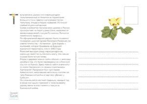 тюльпановое дерево 2